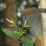 Lemure del bambù a Ranomafana