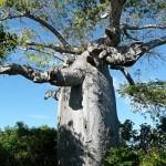 Baobab nei pressi di Ramena