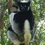 Lemure Indri Indri
