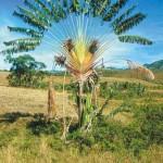 Ravinala, la palma del viaggiatore